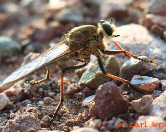 Robberfly At Rest