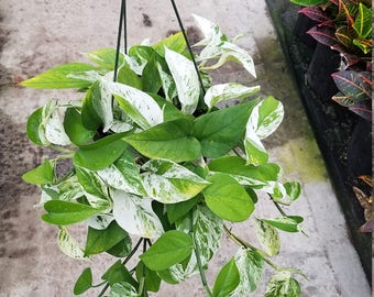 Pothos Marble Queen Cuttings (5)