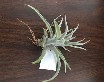 Harrisii Medium Air Plant