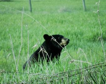 Black bear enjoying the summer evening