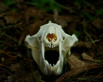 Real Opossum Skull