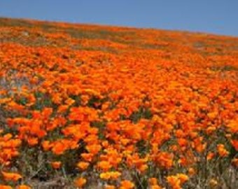 California Poppy - Eschscholtzia Brilliant Mixed (Perennial)