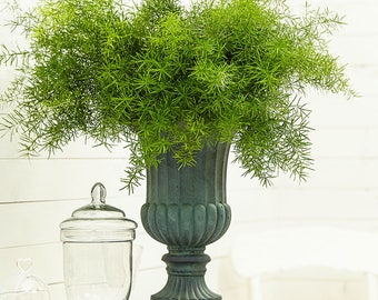 "4"" potted plant Asparagus Fern! EASY 2 GROW! Aethiopicus Tropical Grows fast!"