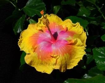 Hibiscus 1100 Yellow Multi