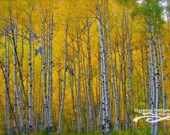 Aspen Fall Forest