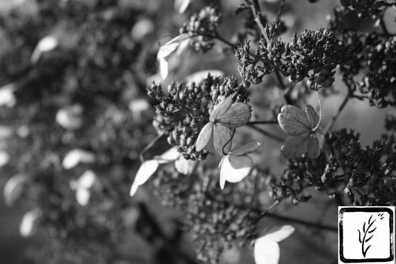 Black and White Photograph, art photography, fine art, photo print, wall art, home decor, flower photography, Autumn photography, hydrangea