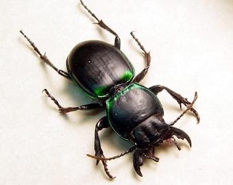 Real Framed Rare Pasimachus Californicus California Warrior Beetle 8369