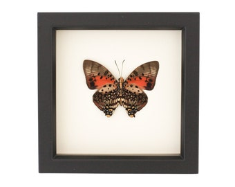 African Butterfly Display Charaxes zingha Insect Taxidermy