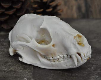 Large Old Real Beautiful Raccoon Skull