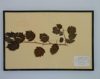 Vintage 1968 botanical specimen by Maine arborist - Hawthorn