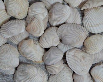 Assorted Natural Ark Clam Shells Mosaic/Craft Supplies One Pound