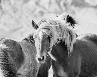 Black and White Horse Photograph, Icelandic Horses