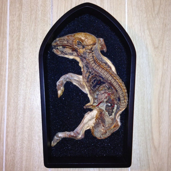 Real Mummified Bisected Large Piglet Display on Bed of Black Sand Wall Display