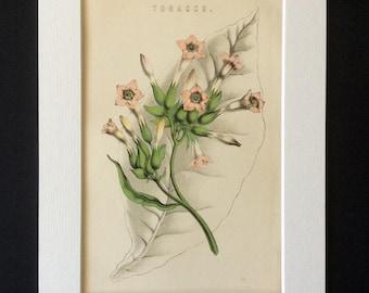 Antique Botanical 1890s Print Victorian Color Chromolithograph TOBACCO PLANT SMOKING Flower Floral Vintage