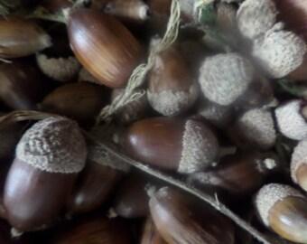 20 Holm Oak Acorns (smaller and cuter than standard oak acorns) with pixie caps