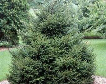 Oriental Spruce Tree Seeds, Picea orientalis - 25 Seeds