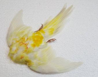 Real taxidermy drued bird skin red-rumped parrot
