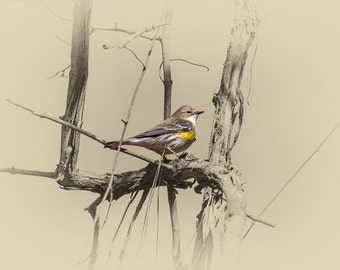 American Goldfinch - Limited Edition