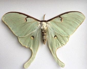 Luna Moth Loose // Dried Moth // Real Moth // Preserved Moths // Taxidermy Moths