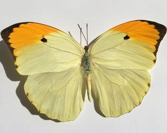 Taxidermy Butterfly // Real Butterflies // Preserved Butterfly // Loose Butterflies // Yellow Butterfly