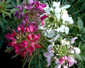 ACLEQ) SPARKLER MIX Cleome~Seeds!!!~~~~~~Great Smaller Spider!