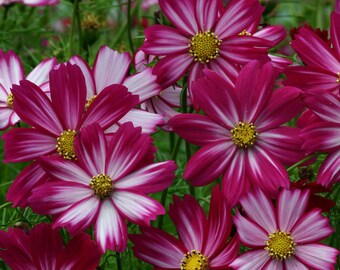 ACS)~CANDY STRIPES Cosmos~Seeds!!~~~~Fuchsia-Pink Blends!!