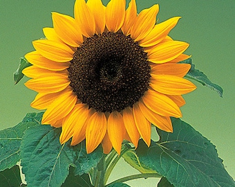 ASUD)~BIG SMILE Sunflower~Seed!~~~~~Short Bodied - Huge Face!!