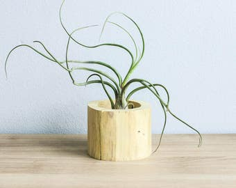12 Wholesale Driftwood Air Plant Containers with Plant - Natural Wood Holder with Custom Air Plant - Fast FREE Shipping - 30 Day Guarantee