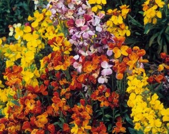 Wallflower-English-100 Seeds