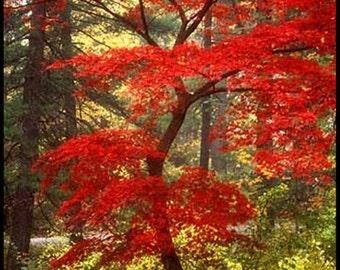 VikkiVines~Brilliant Red JAPANESE MAPLE SEEDS  Acer Palmatum ~ Tree/Bonsai or Grow Both! Garden Ornamental. 15 Seeds! CVGG21