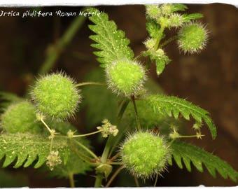 Urtica pilulifera 'Roman Nettle' 20 SEEDS
