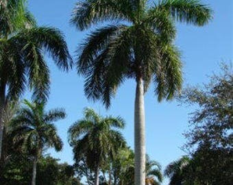 Royal Palm - Tropical seeds - Roystonea regia