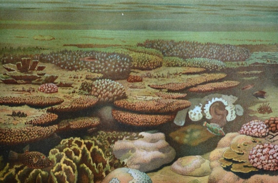 Coral reef print. Old book plate, 1904. Antique illustration. 112 years lithograph. 9'6 x 6'2 inches.