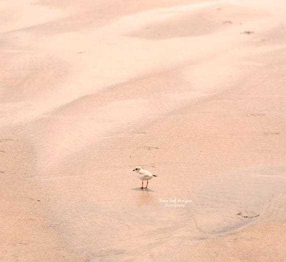 Piping Plover on the Beach Original Photography