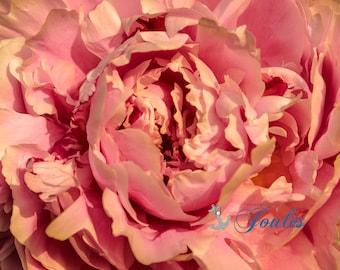 Antiqued Ruffles ~ Warwick Neck, Rhode Island, Pink, Peony, Print, Photograph, Wall Decor, Interior Home Decor, Floral, Wall Art, Summer