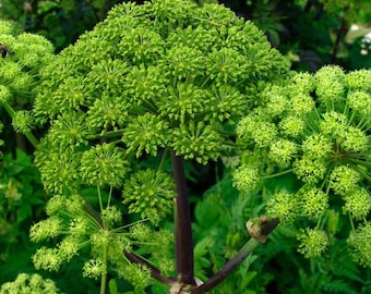 Norwegian Angelica Herb Seeds (Angelica archangelica) 50+Seeds