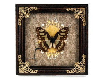 Real butterfly frame Siproeta stelenes (malachite) / taxidermy natural history home wall decor butterflies framed moth