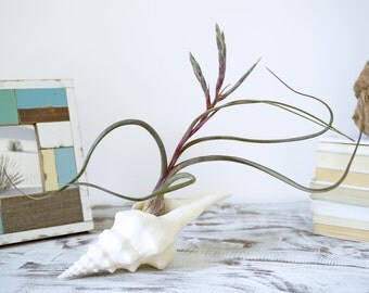 Wavy Air Plant Design | Tillandsia with Seashell | Costal Home Decor |