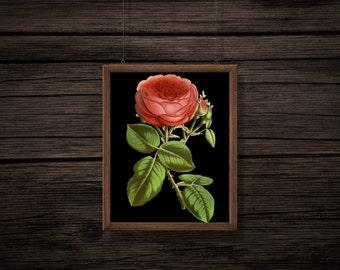Rose Vintage Print - Black Background - Rose Digital Print - Rose Print - Botanical Print - Digital Download - Digital Print - PNG - JPG