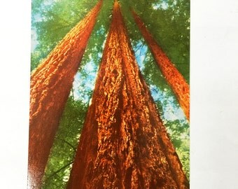 Vintage Redwoods Postcard.  Unused.  Authentic postcard from 1950s.  Muir Woods, California.  Kodachrome.  Color Card. Zan Stark