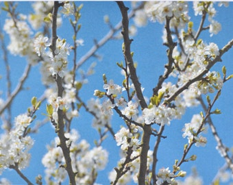 Blossom - photographic postcard