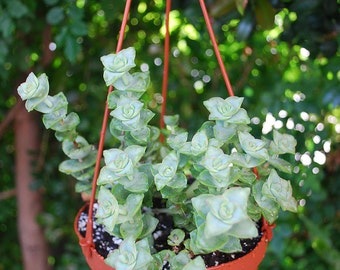 "Lovely ""String of Buttons"" Succulents Crassula perforata - 6"" Hanging Basket"