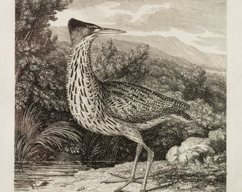 Bittern engraving by Samuel Howitt published in London Feb 1st 1823
