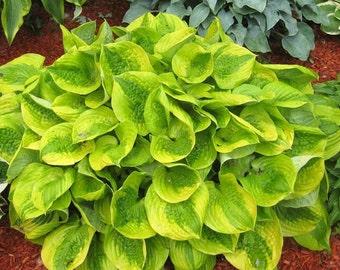 Hosta Plant Root / Bulb Variety of Plants ( you choose) Perennials Summer Plant
