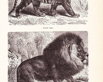 1920s Cat Print - Lion and Tiger - Vintage Antique Animal Home Decor Book Plate Art Illustration for Framing 95 Years Old