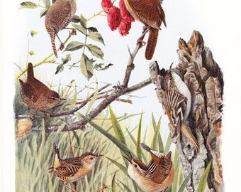 1917 Bird Print - Plate 102 - Wrens - Vintage Antique Art Illustration by Louis Agassiz Fuertes 100 Years Old