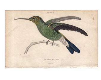 c. 1834 HUMMINGBIRD COLIBRI - hand colored engraving - original antique print - ornithology avian - Jardine bird - trochilius buffonii