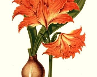 antique french botanical print tropical flower orange amaryllis