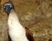 Special listing for Joanne - Blue Footed Booby