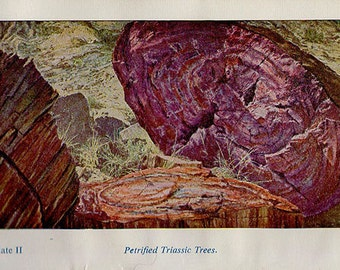 PETRIFIED TRIASSIC TREES Stone Mineral vintage lithograph mid century crystal geology print to frame